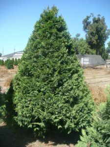Leland Cypress Tree at Hagle Christmas Tree Farm