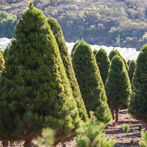 Christmas Trees For Sale at Hagle Tree Farm