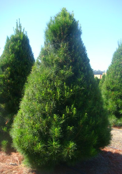 Monterey Pine christmas tree at Hagle Tree Farm