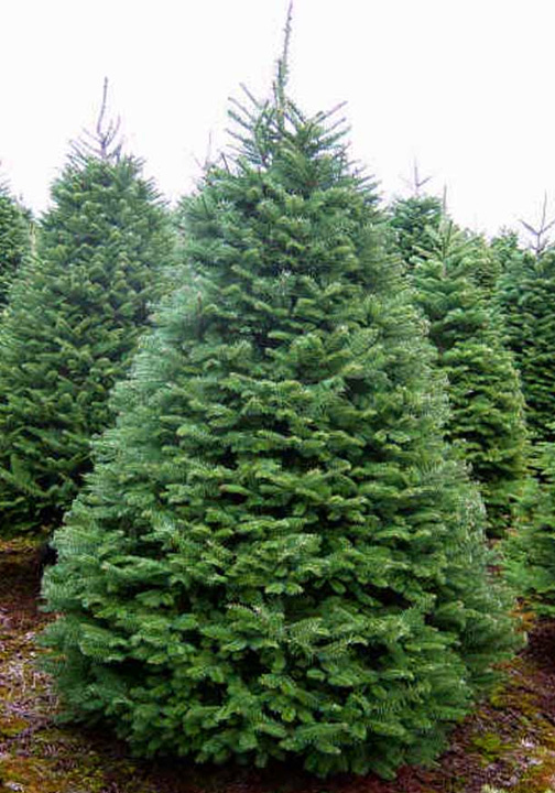 pre-cut Noble Fir Christmas Tree at Hagle Christmas Tree Farm