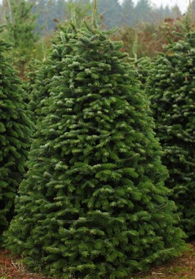 pre-cut Nordmann Fir Christmas Tree at Hagle Christmas Tree Farm